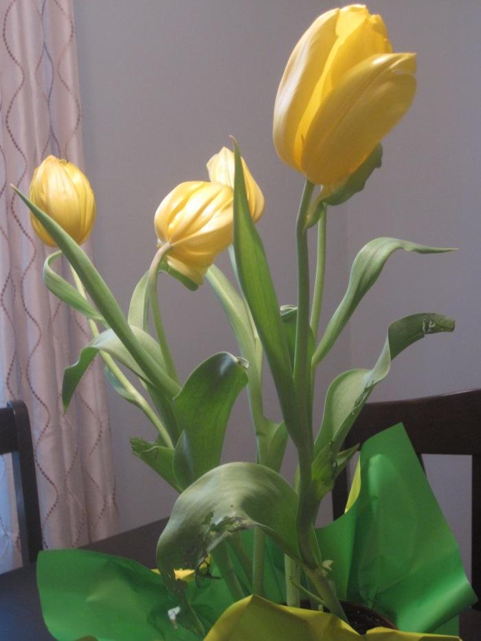 tulips 001